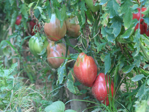 pomodoro di belmonte2